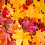 A beautiful display of autumn leaves